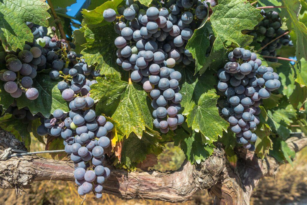 Grappes raisins